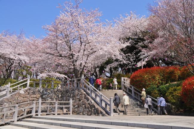 飛鳥山公園桜画像